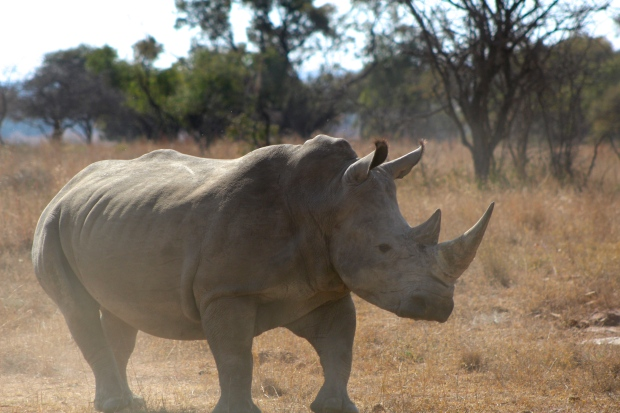 Rhinos are BIG.  When you get close to them, which is advisable only if you're in a buggy (a kind of jeep truck with seats on the back) they square off with you.  They turn so that they're facing you straight on, presumably in order to better use that horn should they take a notion to.