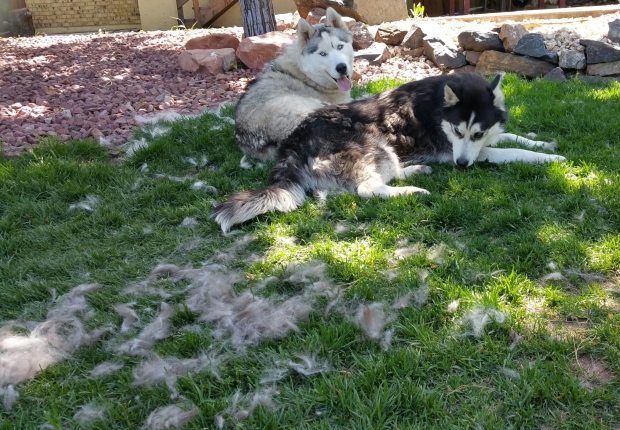 """Look carefully at this photo.  See that stuff on the lawn?  That's FUR! Yep, when they say huskies """"blow their coats"""" after winter,they mean it!  It comes out by the handfuls."""