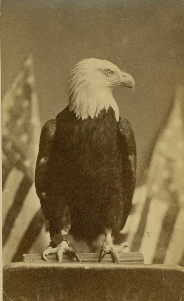 "Official Centennial portrait of ""Old Abe"" the War Eagle (Courtesy Robby Cohen Collection)"
