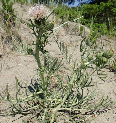 Would you like some thistle for dessert?  See if you can find some.  Just dig under the snow for a delicious treat!